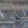 Lesser Sandhill Crane With Greater