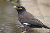 Common myna. Common bird. This one in roadside mud wallow, Kilauea, Kaua'i, HI.