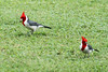Red-crested cardinal males. I think they're playing golf.