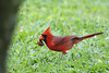 Northern cardinal displaying a special find.