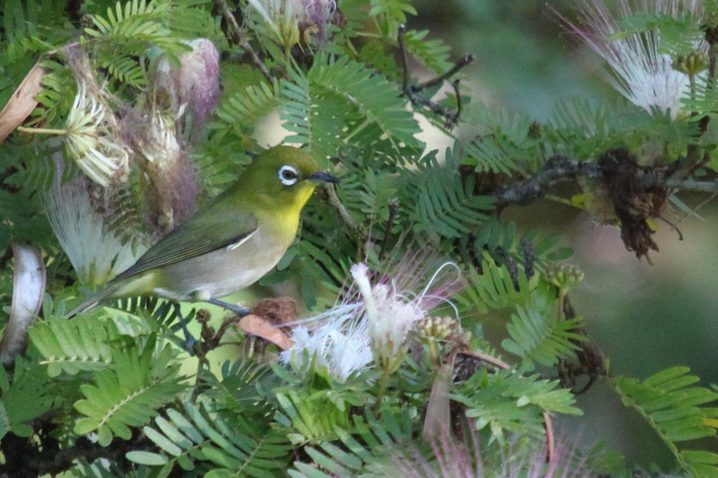Japanese white-eye is another of the many alien birds on Kauai. Busier than a kinglet so this is another lucky photo. Better lucky than talented.