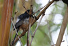 White-rumped shama has a beautiful sound as appreciated from our Plantation Cottages room on Kaua'i.