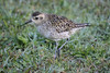 The pacific golden plover is common in January in the islands. This one's neck looks shorter than some. It was a cool morning, good for feather fluffing, and the bird is hunting crouched down a bit.