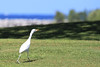 The cattle egrets are made for walking. And that they do, as they follow any mowing operation to grab up insects and such.