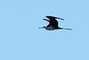 Isn't this frigatebird great? NCC-1701 Beam me up, Scotty.