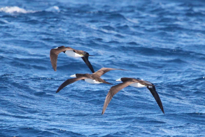 Brown boobies in formation. This was the common sea bird along the Napali coast in January.