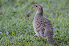 Gray francolin (say franklin) looks like bark on the back. Good camo.
