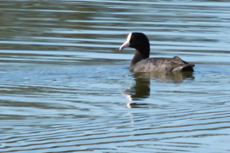 Hawaiian coot. White forehead shield is larger than on continental birds.