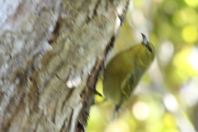 Amakihi on Kauai. These birds are all fast and the cloud forest is dense on the trail to the Alakai Swamp.