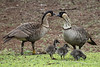 Nene or Hawaiian goose. Saved from the brink of extinction, this highly protected species looks like it's growing yet another generation.