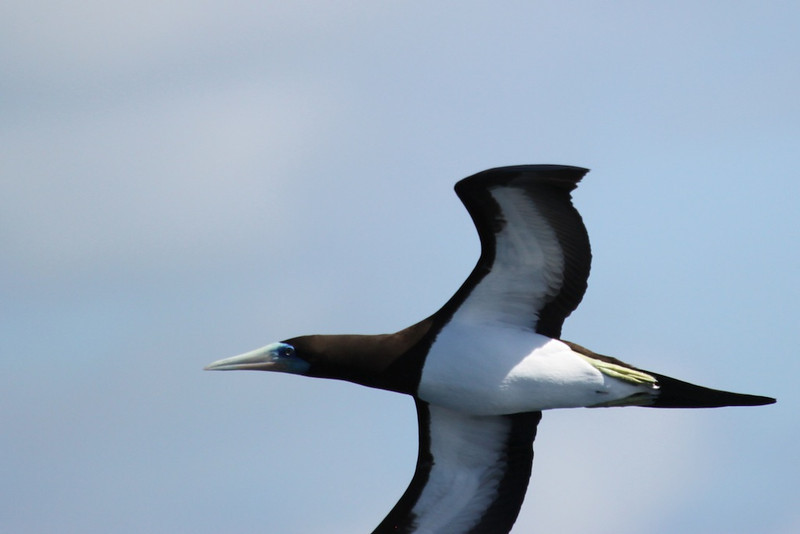 Brown booby. I'd hate to be a fish with this bird diving in on me.