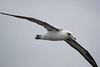 Laysan albatross photos are cheap at the Kilauea Point lighthouse. They are said to rarely flap their wings but here they were flapping like gulls.