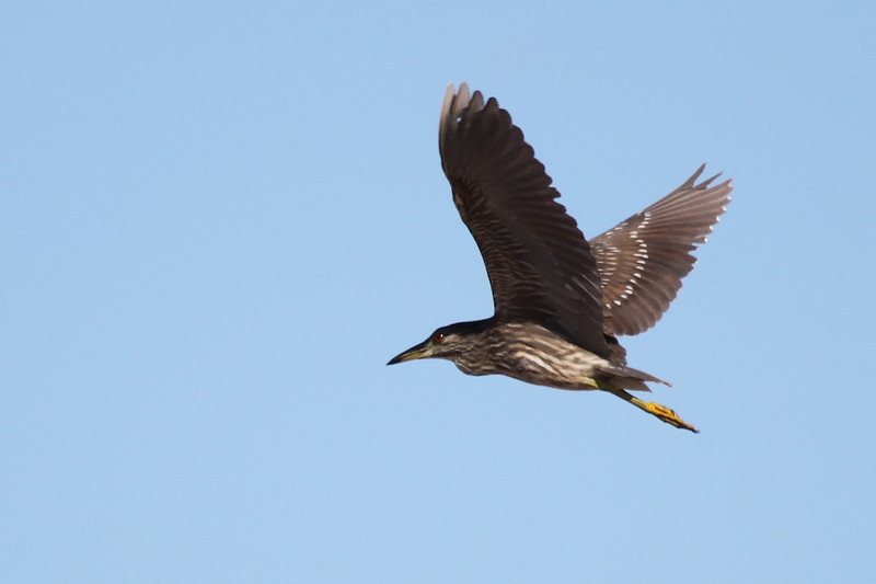 Juvenile black-crowned night heron on Kauai.