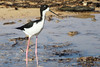Hawaiian black-necked stilt has more black than continental birds but still, the lumpers have taken over and it's merely the black-necked stilt. Found on Kaua'i.