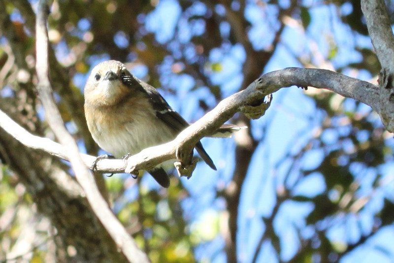 Kaua'i elepaio -- a flycatcher.
