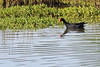 Hawaiian moorhen has been lumped and reclassified as common gallinule. Still, the red forehead shield does seem larger than mainland birds'.