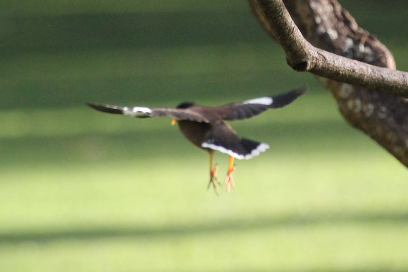 Common myna in flight -- easier said than done but important to recognize this common bird.