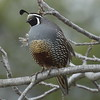 California Quail in California