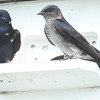Purple Martin Pair, Male is Leucistic
