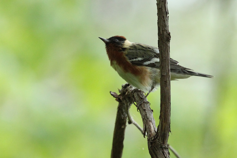 Bay-breasted Warbler, Male