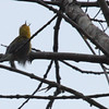 Prothonotary Warbler Catching Insect