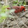 Ohio State Bird
