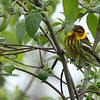 Cape May Warbler, Male