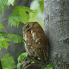 Eastern Screech Owl, Red Morph