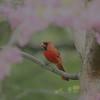Cardinal in Redbud