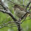 Palm Warbler, f