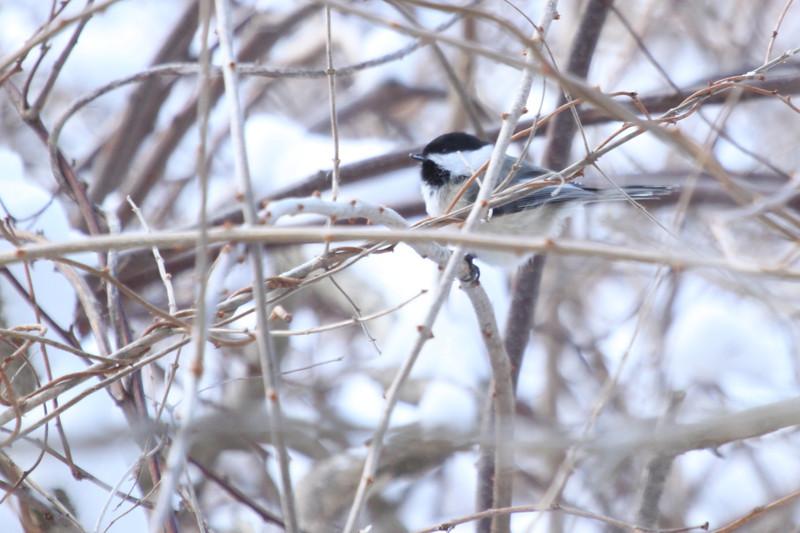 State Bird of Maine
