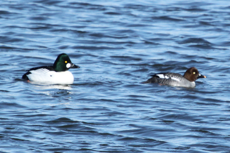 Common Goldeneye, male and female