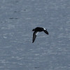 White-winged scoter