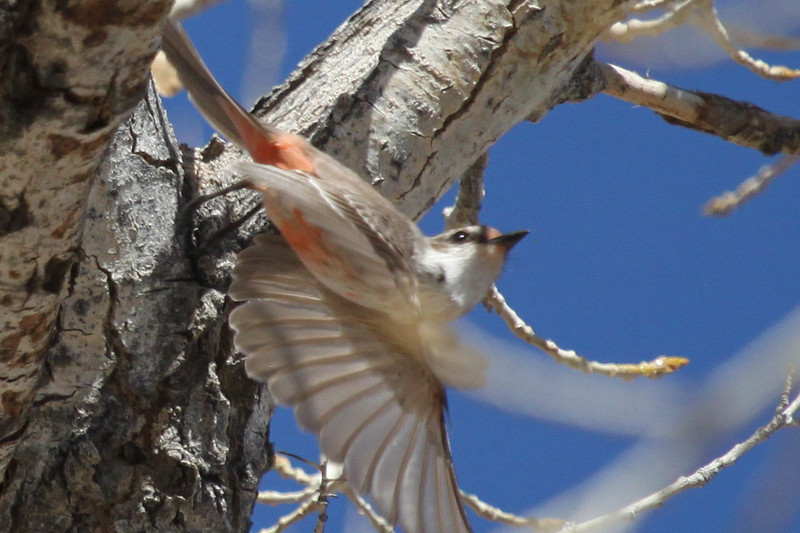 Vermilion flycatcher at Percha Dam State Park in New Mexico. This female and a male spent some time together in the fork of a tree that this lady is just leaving.