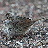 "Lincoln's Sparrow. Why is such a distinct bird so hard to ID? Fine breast streaking suggests savannah. Buff wash on upper breast suggests Lincoln's. It's the black eye line and breast spot that helped most. Lacking the white throat marks of a swamp sparrow. But, alas, the e-bird reviewer weighed in 7 months later (who can blame him?) saying it's a Lincoln's sparrow when I originally called it either a song or a savannah. Now we ""know."""