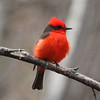 Vermilion flycatcher along Hot Springs Wash