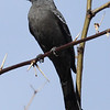 Phainopepla female. There were many of these birds near the mistletoe in deciduous trees.