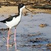 Hawaiian Black-necked Stilt