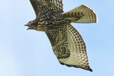 Very Juvenile Red-tailed Hawk