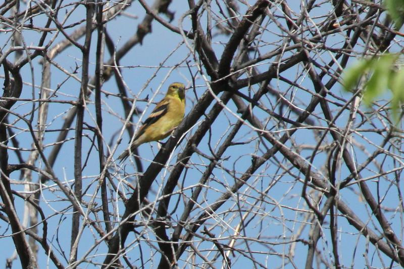 Washington State Bird