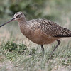 Long-billed curlew. Possible first sighting in Los Alamos county.