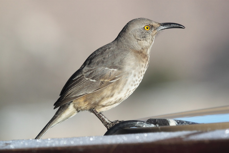 Curve-billed thrasher in mid-winter Los Alamos, NM