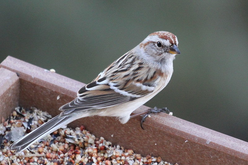 American tree sparrow, 2-20-2013 Los Alamos, NM. Seen and described first by Selvi Viswanathan.