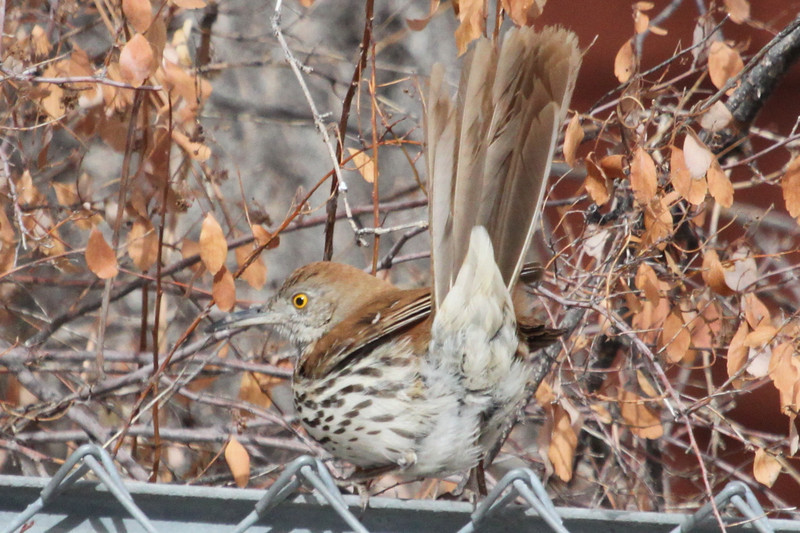 Brown thrasher, a rarity in Los Alamos, 2-22-2013, 1 of 2.