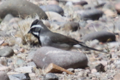 Black-throated sparrow, Cochiti reservoir, NM, April 19, 2013