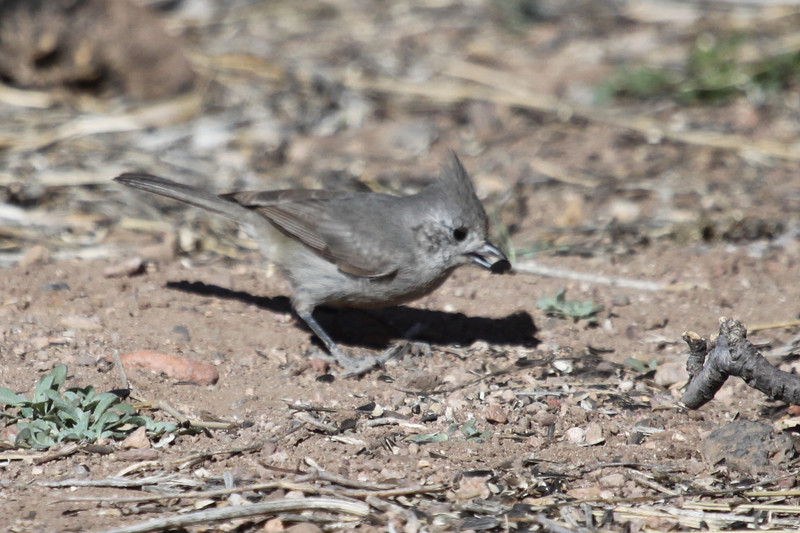 Juniper titmouse. One of 2 observed at Muleshoe Ranch, AZ, on March 16, 2013.