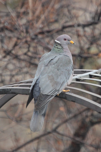 Band-tailed pigeon 4-9-13 in my yard on a blustery day. It's about time we got some moisture around here.