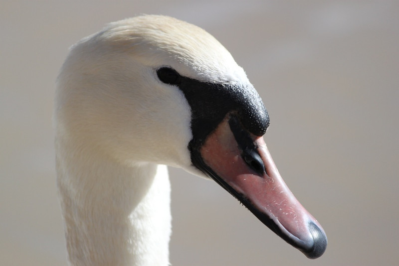 Mute Swan, T or C, NM, January 2011. It swam over to me apparently expecting a handout.