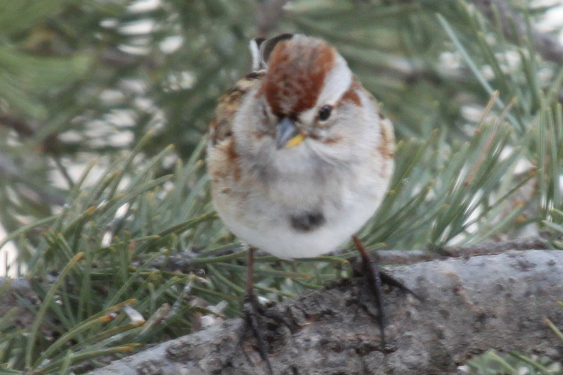 American tree sparrow, Los Alamos, NM 2-20-2013. Seen and described first by Selvi Viswanathan.