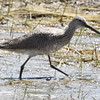 Willet, Bosque del Apache, May 5, 2013.
